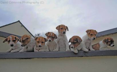 Eight puppies caught on camera peering over a wall in Newmarket on Fergus. Photo David Crimmins