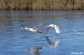 Swans fly low over a frozen McNamara's Lake near O'Briensbridge. Image Pat Flynn