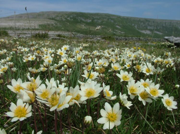 Burren flowers. Pic Burrenbeo