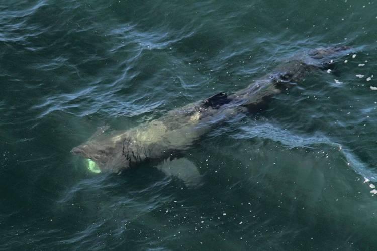 Basking Shark near Baltard Cliffs,  Doonbeg this morning. Pic: Bill Ryan