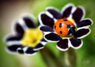 A ladybird in the garden at Corofin, County Clare. Pic Clare by Nature
