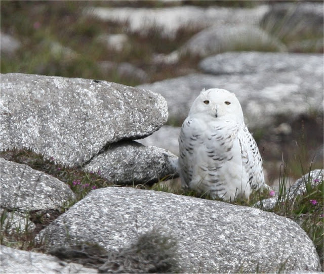 Snowy Owl. Pic John Murphy