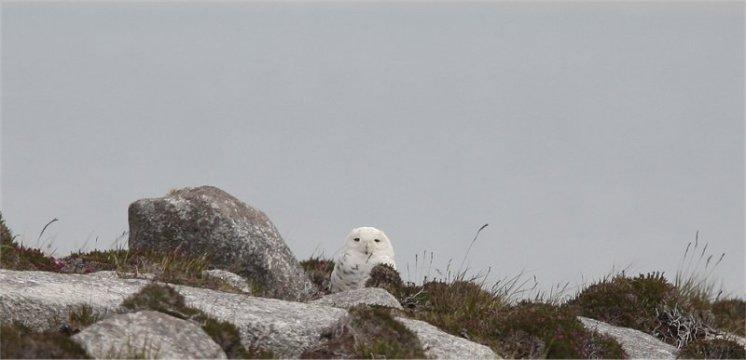 SnowyOwlBellM42012JM