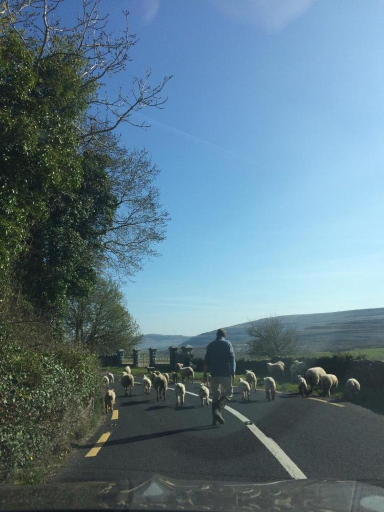 A spring traffic jam in the Burren, Co Clare. Pic Caitriona Considine / Considines Bar