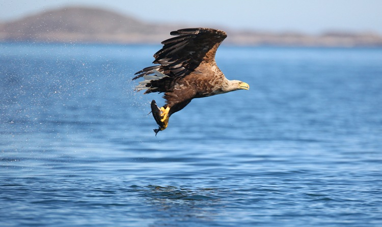 White Tailed Sea Eagle at Mountshannon. Pic Valerie O'Sullivan