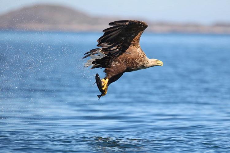 White-tailed Sea Eagle flying over Mountshannon. Photo Valerie O'Sullivan